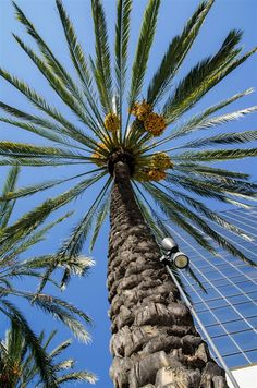 Looking up through the Date Palm (Phoenix dactylifera - Arecaceae)