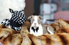 ♥♥♥ Mini Boston! ♥♥♥ Bring This Perfect Baby Home Today! Call 954-353-7864 www.TeacupPuppies... ♥ ♥ ♥ TeacupPuppiesStore - Teacup Puppies Store Tea Cup