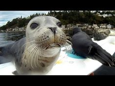 Seal Pup Slip n Slide (surfboard remote camera) - Best waste of 4 minutes of your time, EVER!!