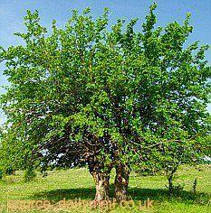 Mengenal Mulberry Si Buah Ajaib - Chirpstory