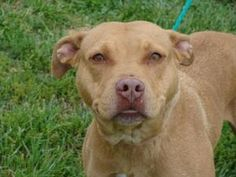Elita URGENT ON EUTH LIST is an adoptable Pit Bull Terrier Dog in Owensboro, KY. Elita was given to someone, she had puppies who were all given away - all but one. They decided to keep the last puppy...