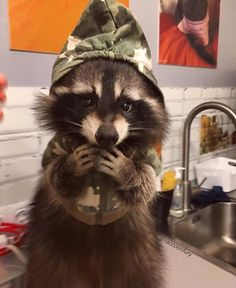 i need a raccoon! too cute animals, funny animals и ra Cute Baby Animals, Animals And Pets, Funny Animals, Strange Animals, Pet Raccoon, Animal 2, Cool Pets, Funny Animal Pictures, Spirit Animal