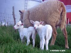Springtime on the Farm - A Proverbs 31 Wife  Lots of lamb photos found here!