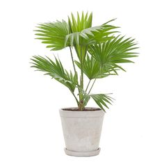 Green lifestyle store Waaierpalm incl. soft grey pot Lifestyle Store, Planter Pots, Nice, Grey, Products, Seeds, Ash, Gray, Repose Gray