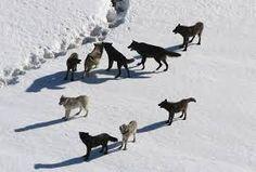 Resultado de imagem para Lobos
