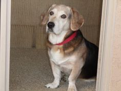 Meet Annabelle Lee A 8 Years 1 Month Beagle Available For