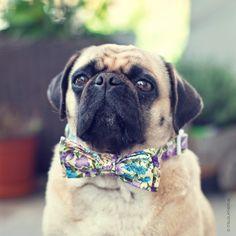 Bow-tifoul Pug ;-) bow collar by @pimpmypugitaly