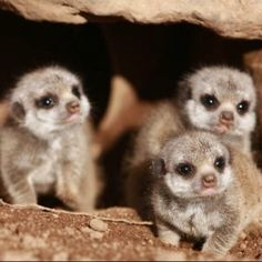 Oh hai baby meerkats!