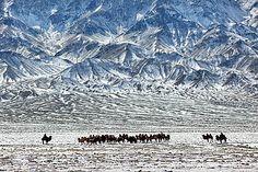 Pic: Copyright Timothy Allen. http://www.humanplanet.com Camel herders, Gobi Desert, Mongolia