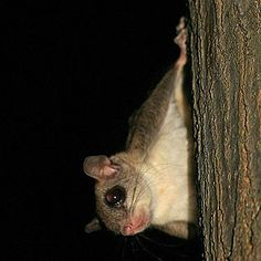Flying Squirrels vs. Coal