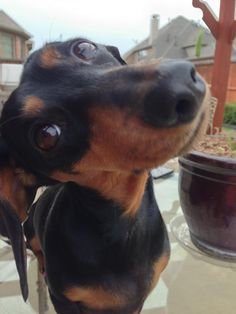 """The Doxie's best weapon.... how could you say """"NO"""" to the face, the tilt of the head. AWWWWWWWWWW"""
