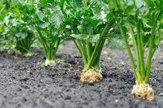 Tento produkt vyčistí a obnoví pečeň len za 3 dni. Bez piluliek môžete mať úplne zdravé telo - MegaRecepty.sk Herbs, Plants, Garden, Growing Plants, Growing, Indoor Plants