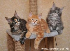 Maine Coon kittens.
