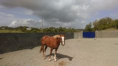 Sahara the day she arrived wild from the moutains of Co.Clare #loveirishhorses #horseforsale