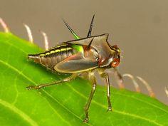 Treehopper nymph, Alchisme virescens?