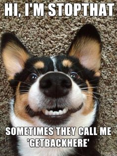 Stopthat funny cute memes animals dog puppy meme lol funny quotes humor funny animals of dog memes Animal Jokes, Funny Animal Memes, Cute Funny Animals, Funny Animal Pictures, Dog Pictures, Funny Dogs, Corgi Funny, Corgi Meme, Humorous Animals