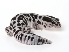 Patterned African fat tail gecko for sale online. Buy captive bred baby african fat tail geckos for sale. Fat tail gecko breeders of Fat tail morphs. Lepord Gecko, Leopard Gecko Cute, Cute Gecko, Cute Reptiles, Reptiles And Amphibians, Fat Tailed Gecko, Animals And Pets, Cute Animals, Crocodiles