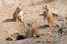 Baby Prairie Dogs Celebrated by Zoo would you like to know more about these cute baby Prairie Dogs?   http://twolittlecavaliers.com/2011/06/baby-prairie-dogs-celebrated-by-zoo.html