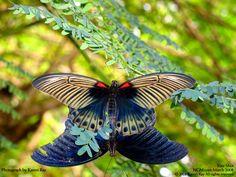 butterflies borneo