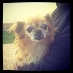 Pechinese + Chihuahua = Meet my Kiki