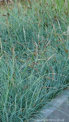 Carex flacca | Knoll Gardens | Ornamental Grasses and Flowering Perennials