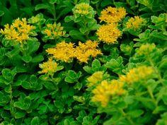 139 best succulents sedums images on pinterest cacti and yellow sedum mightylinksfo