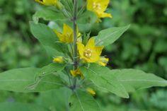 50-100 cm boylarında, dik gövdeli, çok yıllık, otsu bir bitkidir. Sivri uçlu geniş yaprakları gövdeye üçlü çevrel dizilmiştir. Çiçeklenme dönemi Mayıs-Eylül ayları arasındadır. Çiçekler yaprak koltuklarından açar, 5 taç yapraklı ve sarı renktedirler. 950m yüksekliğe kadar, nemli yerlerde, orman içi açıklıklarda yetişir.