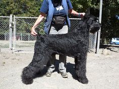 Image result for giant schnauzer
