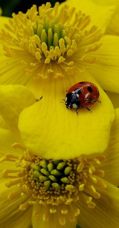 Ladybug enjoying a beautiful flower~ Beautiful Bugs, Beautiful Flowers, Photo Coccinelle, A Bug's Life, Bugs And Insects, Shades Of Yellow, Mellow Yellow, Macro Photography, Betta