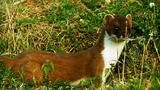 When a stoat can't chase down a rabbit, it breaks out the dance moves. All the dashing and thrashing hypnotizes the stoat's prey until it can deliver the killing stroke. [click through for video]