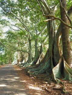 A Quick Guide to Norfolk Island: What to See, Do, Eat & Enjoy! Visit Australia, Australia Travel, Honeymoon Spots, Honeymoon Hotels, Honeymoon Destinations, Norfolk Pine, Weird Trees, World Of Wanderlust, Norfolk Island