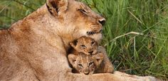 """Learn about the African lion, and why the so-called """"king of the jungle"""" needs our help. #WildlifeWednesday alive.com"""