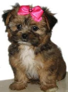 12 Best Yorkie Mix Shih Tzu Images On Pinterest Cute Puppies Cute