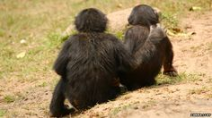 """Young bonobos offer comforting hugs and sex, say scientists.//  Although bonobos are known as the """"empathic"""" apes, researchers previously thought that comforting behaviour was too complex for juveniles to grasp.    But studies at the Lola Ya Bonobo sanctuary in DR Congo, revealed that the youngsters often consoled the losers of social squabbles. Researchers also found that apes raised by their mothers were more likely to offer comfort than orphans."""