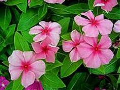This perennial, as its… - Modern Sun Loving Plants, Border Plants, Water Wise, Shade Perennials, Diy Garden Projects, Garden Soil, Delphinium, Small Plants, Zinnias