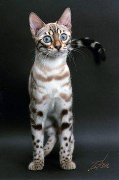 Seal Lynx Bengal Cat, Palu, at 6.5 months. Now Supreme Grand Champion Dadaelis Palu of Leopardfuzz,
