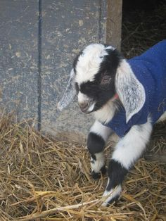 A goat in a sweater from Prodigal Farm, North Carolina.