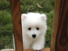 canadian eskimo dog.... it looks like a baby polar bear