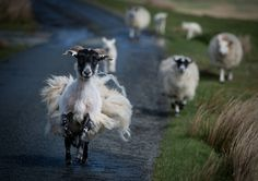 Escape the hairdresser by Gotti V--Scottish sheep on the run!