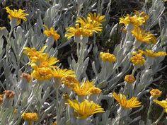 Senecio crassiflorus | Uruguay's wildlife & Natural sanctuaries / Santuarios de Flora y Fauna de Uruguay