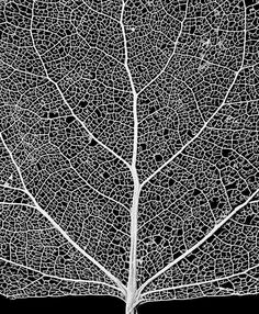"cottonwood leaf skeleton network close-up ~ ""The Stock Solution Photo Agency"" - Image Author / Use License: Royce Bair / Creative Commons license Patterns In Nature, Textures Patterns, Leaf Structure, Leaf Skeleton, Natural Structures, Natural Forms, Black And White Tree, Fotografia Macro, Witches"
