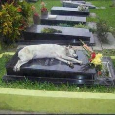 Loyal Friend Captain has slept on his former owners grave for past six years. Every night since the owner's death.
