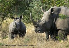 A white rhino and her calf came out to greet us on #safari recently