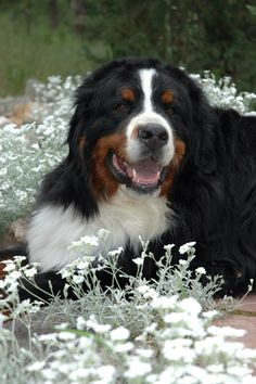 My Bernese mountain dog Chester. Best dog Ever!!!