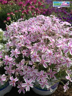 Candy Stripe Phlox - Great for early Spring planting as its cold and frost resistant
