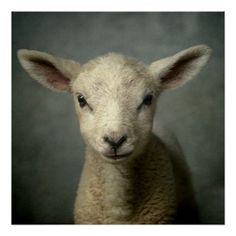 Closeup of new born lamb with grey background. poster