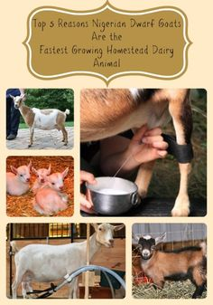 Top 5 Reason NIgerians Make Great Homestead Livestock - via Better Hens and Gardens