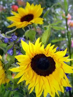 how to harvest sunflowers