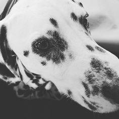 いいね!151件、コメント2件 ― Tsutomu Fukutomiさん(@jasper.dalmatian)のInstagramアカウント: 「帰省中 #dalmatian #dalmatiansofinstagram  #dachshund」