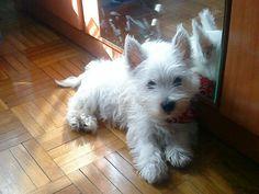Westie pup ♡